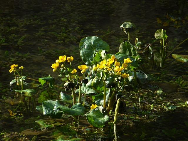 Purene purva (Caltha palustris L.)