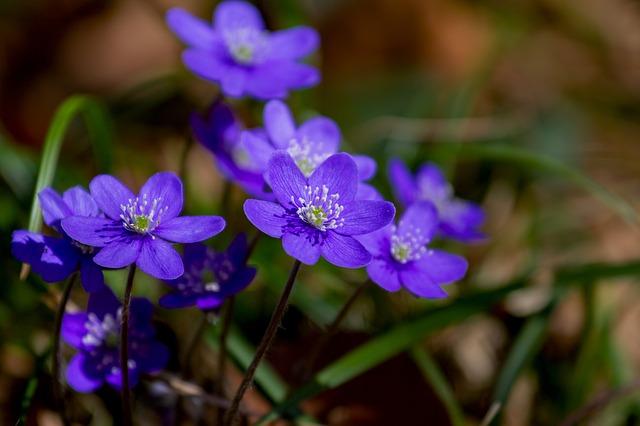Zilā vizbulīte (Hepatica nobilis mill.)